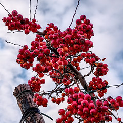 Tiny Apples (enneafive) Tags: apples timy small red sky clouds pole blue fujifilm xt2 affinityphoto