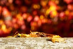 Autumnal Leaves (MarkusR.) Tags: d722746 mrieder markusrieder stuttgart germany wilhelma zoologischergarten zoo park botanischergarten zoologicalgarden botanicalgarden nikon d7200 nikond7200 herbst fall autumn leaves blätter