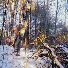 Fallen Tree Trunk Covered In Snow (azhukau) Tags: mamiyac220 vintagecamera analog analogphotography analogue film filmphotography kodak porta800 forest woodland glenmajorforest outdoors winter snow tree treetrunk season beautyinnature shadows sunset