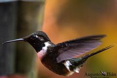 DSC_4901.jpg (Augusto Ilian G) Tags: calliphloxmitchellii purplethroatedwoodstar zumbadorpechiblanco