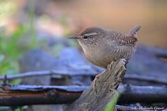 Scricciolo _003 (Rolando CRINITI) Tags: scricciolo uccelli uccello birds ornitologia avifauna castellettomerli natura