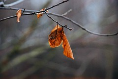 December's Leaves (Haytham M.) Tags: 135mm nikond80 canada ontario branch trees tree twigs december winter leaves leaf