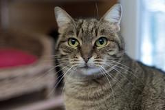Katze Sonja (Jana`s pics) Tags: cat katze animals tiere haustiere pets hauskatze stubentiger tiger niedlich augen getigert feline blick