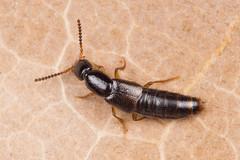 Gabrius ?splendidulus (NakaRB) Tags: 2017 insecta coleoptera staphylinidae gabrius