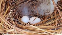Tree Swallow Eggs (matthewbeziat) Tags: treeswallow tachycinetabicolor patuxentresearchrefuge patuxentresearchrefugesouthtract princegeorgescounty marylandbirds americanbirds