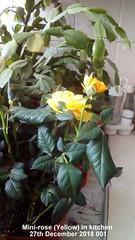 Mini-rose (Yellow) in kitchen 27th December 2018 001 (D@viD_2.011) Tags: minirose yellow kitchen close up 27th december 2018