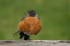 Yikes!  Who pooped?!?! (craig goettsch) Tags: robin bird avian wildlife nature nikon d500 green