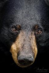 2018 Top Ten (Megan Lorenz) Tags: blackbear bear female animal mammal nature wildlife wild wildanimals ontario canada mlorenz meganlorenz