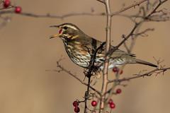 Redwing (cliveyjones) Tags: redwing nature wildlife otmoor rspbotmoor