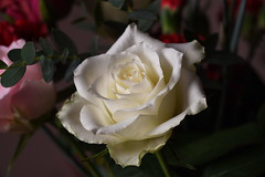 DSC_2426 (PeaTJay) Tags: nikond750 sigma reading lowerearley berkshire macro micro closeups gardens indoors nature flora fauna plants flowers rose roses rosebuds