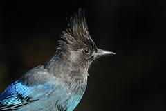 Cyanocitta stelleri (Steller's Jay) - Everett, WA (Nick Dean1) Tags: cyanocittastelleri stellersjay corvidae jay passeriformes passerine animalia aves washington washingtonusa everett washingtonstate