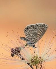 Marine Blue Butterfly on a Fairy Duster (Ruby 2417) Tags: marine blue butterfly insect wildlife nature arizona buenos aires feather fairy duster flower
