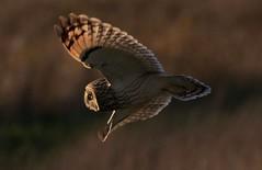 Short Eared Owl (merseymouse) Tags: owlshunting owls shortearedowl raptors birdsofprey birds nature wildlife