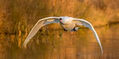 ... Swanning around ... (Grandpops Woodlice) Tags: swan mutesawn wiltshire sunset