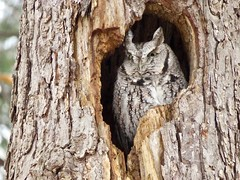 Owl is well (Meryl Raddatz) Tags: owl bird nature canada naturephotography wildlife