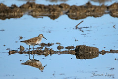 [In Explore] Calidris alpina Bécasseau variable Dunlin Correlimos Común Alpenstrandläufer ([ ͆ ◎] Bernard LIÉGEOIS) Tags: espagne españa spain estrémadure extremadura madrigalejo oiseau oiseaux bird birding birds birdwatch birdwatching ornitho ornithologie ornithology rizières ricefields paddlefields eau water calidrisalpina explored explore inexplore