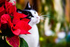 Lily and the Poinsettia (judy dean) Tags: judydean 2019 lily cat lensbaby poinsettia red 52in2019 2red
