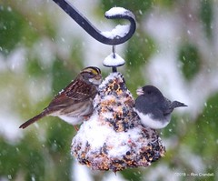 Snow Birds (robberfly12) Tags: bird pennsylvania feeder backyard storm migrants winter minolta400f45apo