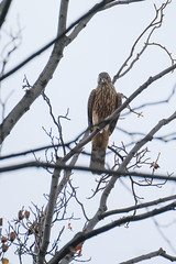 DSCF6539 (jojotaikoyaro) Tags: bird animal nature wildlife suginami tokyo japan fujifilm xh1 xf100400mm