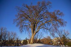 SHF_5592_tree (Tuan Râu) Tags: 1dmarkiii 14mm 100mm 135mm 1d 1dx 2470mm 2018 50mm 70200mm canon canon1d canoneos1dmarkiii canoneos1dx canada ottawa tree trees sunlight sunshine sunrise tuanrau tuan tuấnrâu2018 râu httpswwwfacebookcomrautuan71