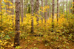 Understory of riches (Wicked Dark Photography) Tags: landscape wisconsin autumn fall foliage forest nature trees woods