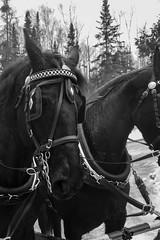 Horses (Ennev) Tags: k3ii northhatley january canada pentax bw k3 horse blackandwhite 2018 pentaxk3ii winter horses