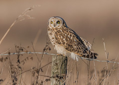 Short-eared Owl ( Asio flammeus ) (Dale Ayres) Tags: shorteared owl asio flammeus bird nature wildlife post wood grass
