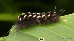 Woolly Tiger moth caterpillar, Saurita sp., Erebidae, Arctiini (Ecuador Megadiverso) Tags: andreaskay caterpillar ecuador saurita erebidae arctiini