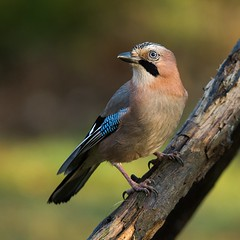 _DSC5919-Redigera (beskowbild) Tags: rovfågel blekinge nötskrika