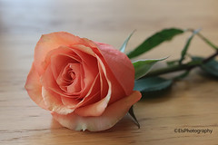 Apricot coloured rose