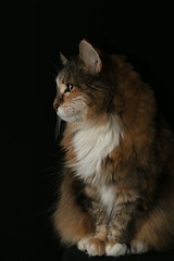 Regal (SOTC 314/365) (gina_blank) Tags: cat feline profile portrait animal whiskers flashphotography sotc sitting perched blackbackground fur meow pet