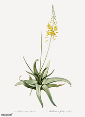 Bulbine illustration from Les liliacées (1805) by Pierre Joseph Redouté (1759-1840). Digitally enhanced by rawpixel. (Free Public Domain Illustrations by rawpixel) Tags: pierre redoute redouté alooides anthericum antique bloom blooming botany bulbine drawing flora floral flower green illustrated illustration isolatedonwhite leaves lesliliacées lilly lily name nature old pierrejosephredouté plant vintage white whitebackground yellow