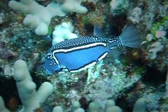 blue boxer (BarryFackler) Tags: vertebrate fish ostracionwhitleyi whitleysboxfish boxfish owhitleyi honaunaubay hawaiicounty hawaii honaunau hawaiiisland hawaiidiving hawaiianislands marineecology marine marinelife marinebiology marineecosystem southkona sea seacreature sealife scuba sealifecamera sandwichislands seawater saltwater pacific polynesia pacificocean barryfackler barronfackler bigisland biology bay bigislanddiving being creature coralreef reef coral zoology animal aquatic diver diving dive fauna konacoast kona konadiving life organism ocean outdoor island undersea underwater tropical ecology ecosystem wildlife water westhawaii