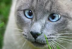 Pixie (Golfo) (En memoria de Zarpazos, mi valiente y mimoso tigre) Tags: cat siamesecat blueeyes blue gray occhiblu ojosazules gato gatto micio kitty kitten