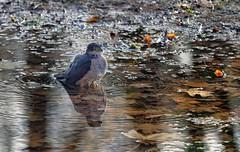 20181130-1125-30a (Don Oppedijk) Tags: vogelenzang noordholland nederland nl sparrowhawk sperwer cffaa amsterdamsewaterleidingduinen awd