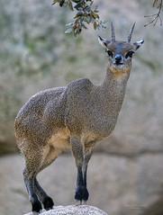 Saltarrocas (Fotgrafo-robby25) Tags: bioparc fauna mamíferos sonyilce7rm3