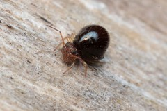 Allacma fusca - 01 XII 2018 (el.gritche) Tags: sminthuridae france 40 garden collembola allacmafusca