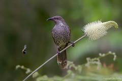 Little Wattlebird (Anthochaera chrysoptera) (Ian Colley Photography) Tags: littlewattlebird anthochaerachrysoptera bird lakecathie newsouthwales australia canoneos7d ef500mmf4lisusm 14extender