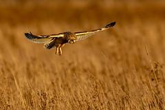 Hovering Shortie (irelaia) Tags: short eared owl big crop hovering wild bird hunting cambridgeshire fens