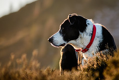 Late afternoon sun (grahamrobb888) Tags: zac dog animal pet winter contrast colours collar d500 80200mm nikon nikkor afnikkor80200mm128ed bokeh clydes friends