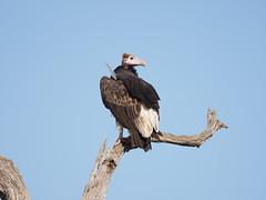 Lappet-Faced Vulture (sami1356) Tags: krugernationalpark olympus em1mkii 300mmf4 birds safari southafrica