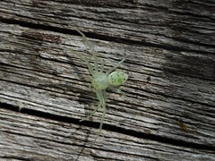 ClearGreen (tessab101) Tags: spider arachnid nsw australia blue mountains arthropods crab thomisidae flower