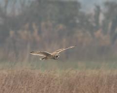 SEO (Lutra56) Tags: shortearedowl asioflammeus owls britishbirds britishbirdsandwildlife wildlifephotography wildlife birds