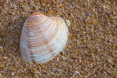 Striped Venus (Mac ind Óg) Tags: seashell summer beach scotland lossiemouth moray macro walking stripedvenus clam chameleagallina holiday shell elgin