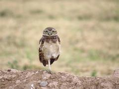 BurrowingOlws-6320 (Ed Cheremet) Tags: arizona athenecunicularia canonsx50 edcheremet goodyearaz phonixarizona bird birds burrowingowl estrellamountains fineartamerica owl owls wildlife