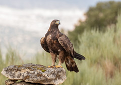 Golden Eagle (Chas Moonie-Wild Photography) Tags: golden eagle aquila wild ngc
