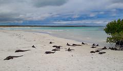 Iguana Bay (dcdc887) Tags: ecuador galapagos animales animal animals reptiles reptile nature wild free naturaleza libre endemic endemica iguana sea marina mar oceano ocean beach playa