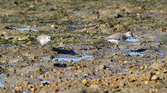 Dunlins (Wild Chroma) Tags: birds waders nonpasserines riaformosa portugal faro calidris alpina calidrisalpina dunlin