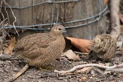Quail Trail 4 (petefeats) Tags: australia birds brisbane brownquail coturnixypsilophora galliformes nature oxleycommon phasianidae queensland juvenile