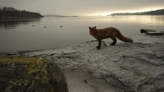 Enjoying the view (Päivi ♪♫) Tags: norway oslo island fox afternoon cloudy sun sea scenery rock frost